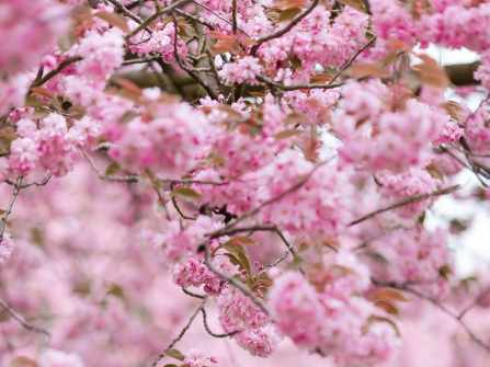 CHERRY BLOSSOM IN GERMANY